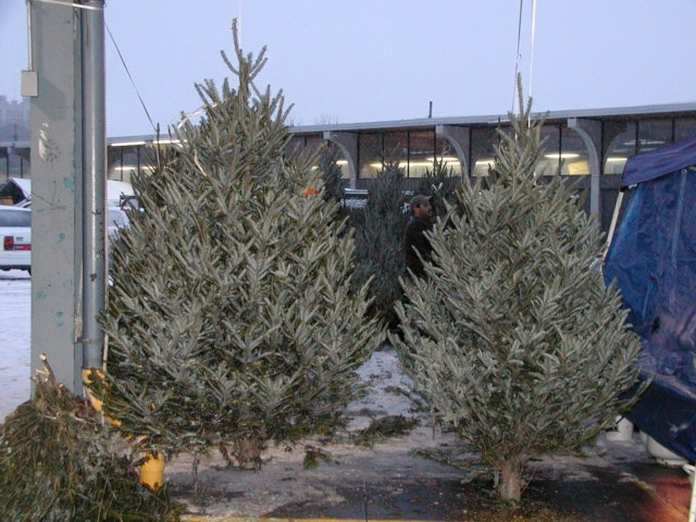 - Christmas Trees For Sale Rochester NY Public Market